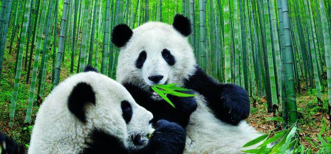 Pandas que tocan el corazón y se quedan para siempre