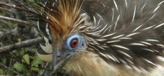 La Chenchena, un ave con un look muy particular