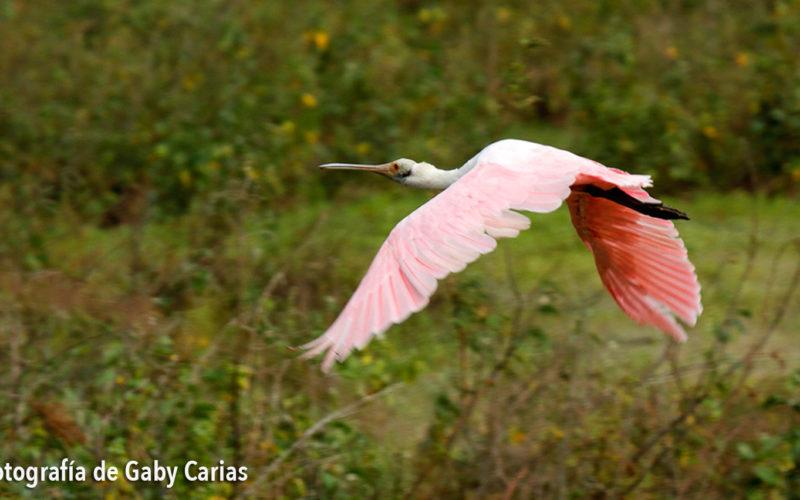 Garza Paleta, el ave que come camarones