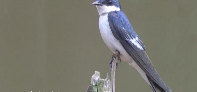 Golondrina azul y blanca, el ave que se parece al gorrión
