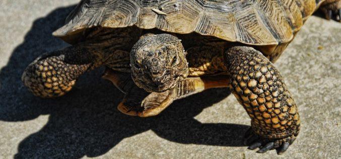 Marines trasladan y salvan tortugas del desierto de Mojave