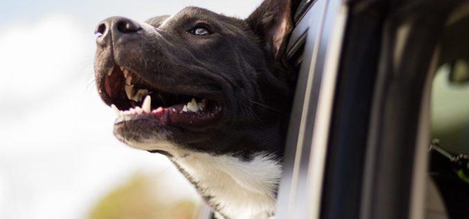 ¿Cuáles son los peligros de conducir con las mascotas sueltas?
